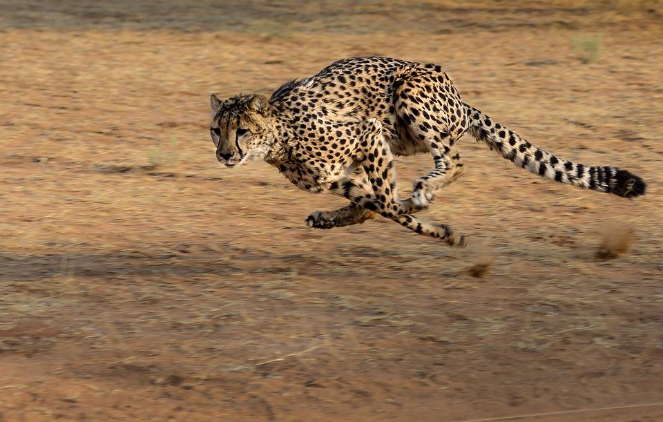 cheetah-2859581_960_720